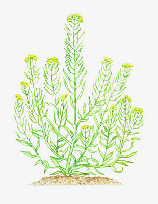Illustration Of Erysimum Cheiranthoides Art Print by Dorling Kindersley