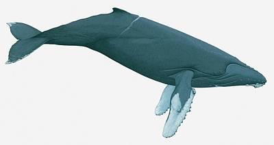 Illustration Of Humpback Whale Art Print by Dorling Kindersley