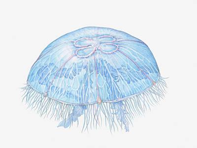 Illustration Of Moon Jellyfish Aurelia Art Print by Dorling Kindersley