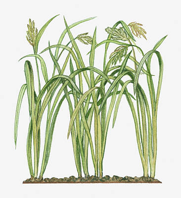 Illustration Of Oryza Sativa Asian Rice Art Print by Michelle Ross