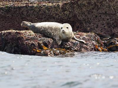 Photograph - Harbor Seal - Supporting World Wide Fund For Nature by James Lamb