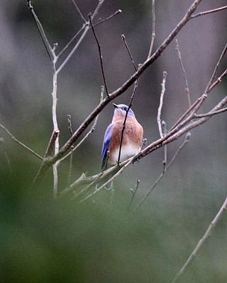 Firefighter Patents Royalty Free Images - IMG_0826-001 - Eastern Bluebird Royalty-Free Image by Travis Truelove
