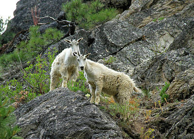 Photograph - Idaho Mountain Goats by Ed  Riche