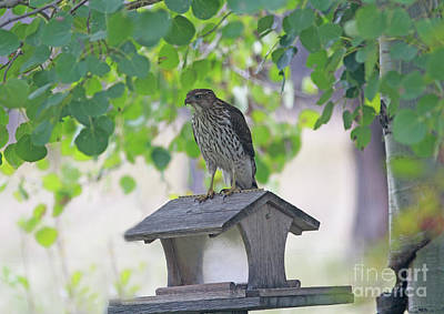 Wall Art - Photograph - Immature Cooper's Hawk Where Did All My Friends Go by Gary Wing