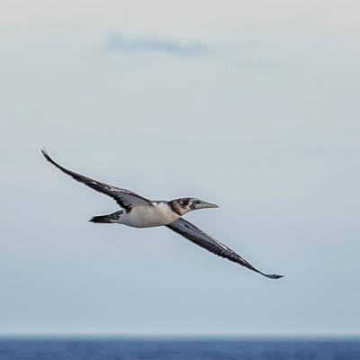 Photograph - Immature Masked Booby, No. 1 Sq by Belinda Greb