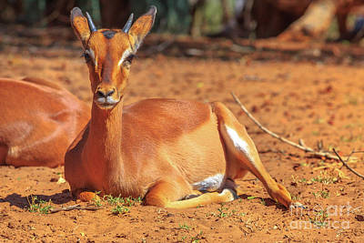 Photograph - Impalas Female Sitting by Benny Marty