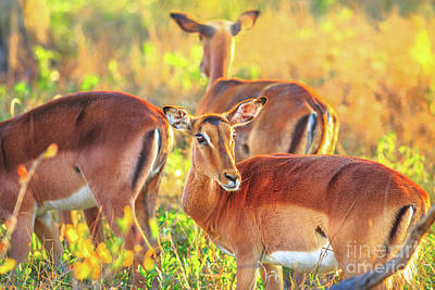 Photograph - impalas South Africa by Benny Marty