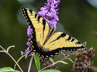 Marvelous Marble - Impeccable Eastern Tiger Swallowtail by Cindy Treger