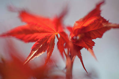 Photograph - Imperfect Perfection. Red Maple Leaves Abstract 1 by Jenny Rainbow