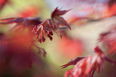 Photograph - Imperfect Perfection. Red Maple Leaves Abstract 11 by Jenny Rainbow