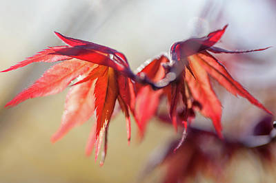 Photograph - Imperfect Perfection. Red Maple Leaves Abstract 16 by Jenny Rainbow