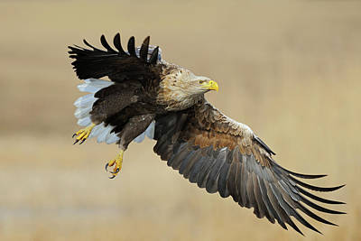 All American - impressive... White-tailed Eagle  by Ralf Kistowski