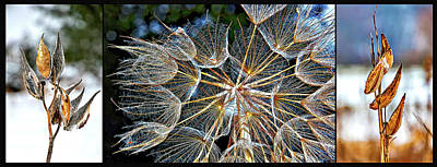 Salsify Wall Art - Photograph - In Praise Of Weeds - Triptych 3 by Steve Harrington