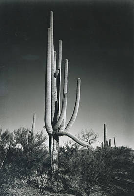 Photograph - In Saguaro National Monument by Archive Photos