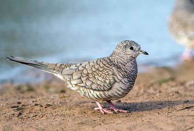 Photograph - Inca Dove 1811-112018-1cr by Tam Ryan