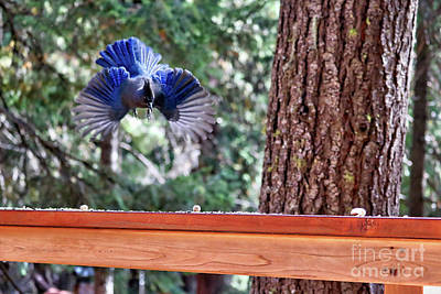 Photograph - Incoming Steller's Jay by Carol Groenen