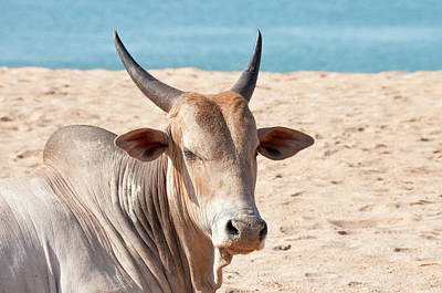 Indian Culture Photograph - Indian Cow by Brettcharlton