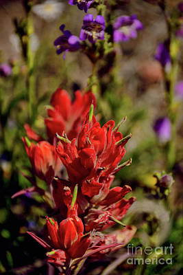Photograph - Indian Paintbrush  by Donna Greene