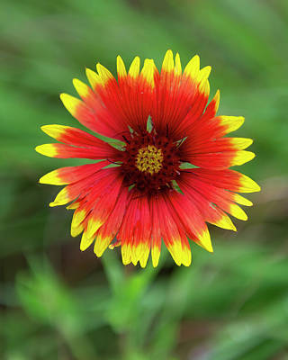 Farmhouse Royalty Free Images - Indian Paintbrush Royalty-Free Image by Gary Langley