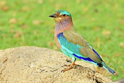 Blue Photograph - Indian Roller by Copyright@jgovindaraj