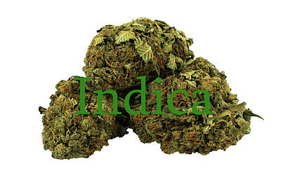 Photograph - Indica by Pat Cook