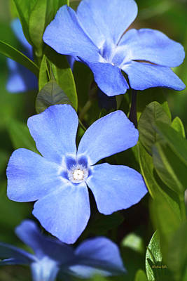 Photograph - Indigo Periwinkle Flowers by Christina Rollo