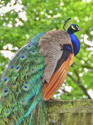 Hollywood Style - Indin Peacock by Jamart Photography