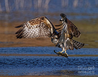 Photograph - Intense Osprey by Beth Sargent