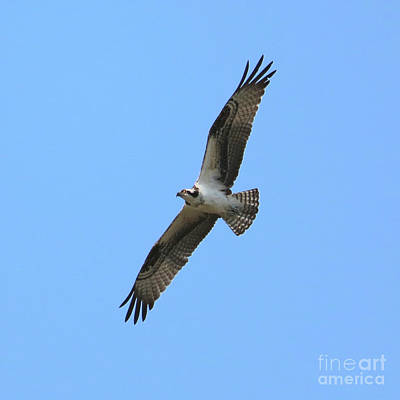 Photograph - Intense Osprey In Flight Square Format by Carol Groenen
