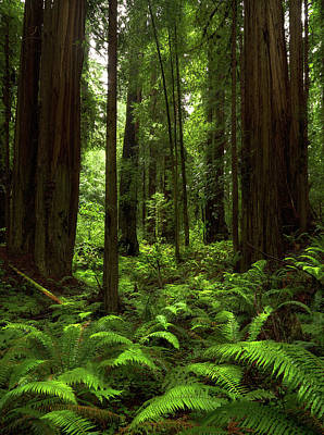 Photograph - Into The Forest - Redwood National Park by TL Mair