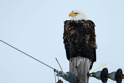 Photograph - Iowa Eagle Perched by Edward Peterson