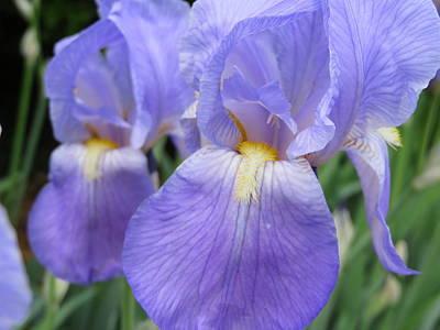 Lady Bug - Iris in Spring by Rebecca Militello