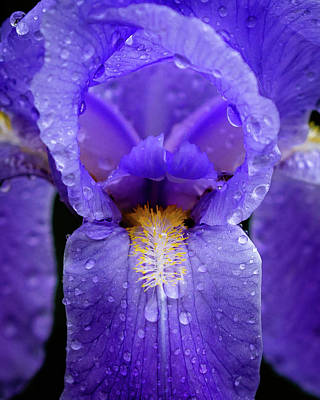 Royalty-Free and Rights-Managed Images - Iris in the Rain by Tim Kirchoff