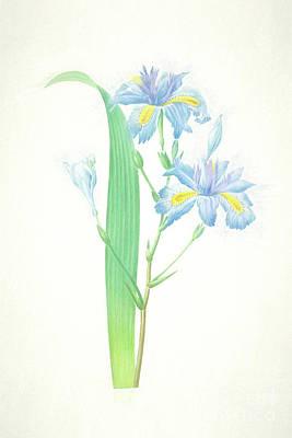 Nikki Vig Digital Art - Iris Japonica Iris Botanical Chalk Art by Nikki Vig