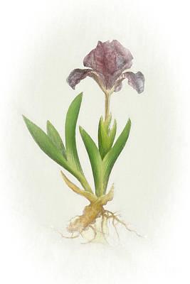 Nikki Vig Digital Art - Iris Pumila Botanical Chalk Art by Nikki Vig