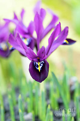 Photograph - Iris Reticulata George Flower by Tim Gainey