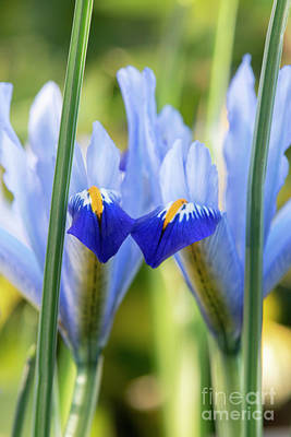 Photograph - Iris Reticulata Gordon Flowers  by Tim Gainey