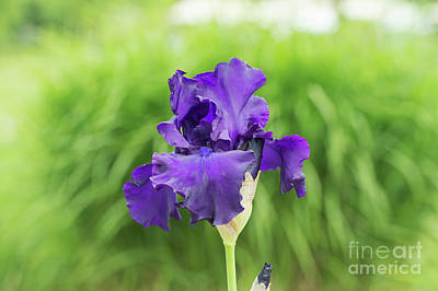 Photograph - Tall Bearded Iris Titans Glory  Flower by Tim Gainey