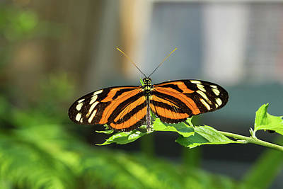 Photograph - Isabella Longwing Butterfluy by Jim Vallee