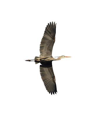 Photograph - Isolated Great Blue Heron 2018-1 by Thomas Young
