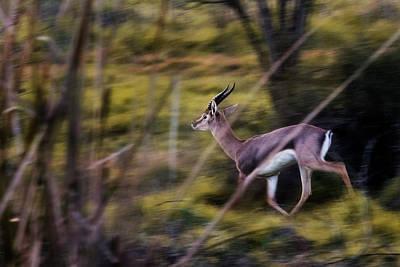Photograph - Israeli Mountain Gazelle  by Ariel Fields