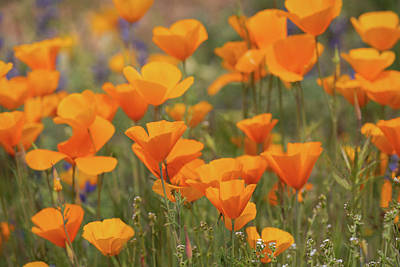 Photograph - It's Coming Up Poppies  by Saija Lehtonen