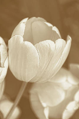 Photograph - Ivory And Brown Tulips by Jennie Marie Schell