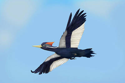 Digital Art - Ivory-billed Woodpecker In Flight by Mark Miller