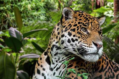 Photograph - Jaguar by Arterra Picture Library