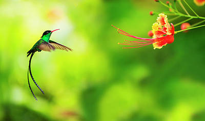 Flying Photograph - Jamaica, Hummingbird In Flight by Tetra Images