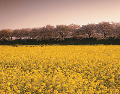 Scenery Photograph - Japan, Saitama Prefecture, Oilseed Rape by Tomomi Saito