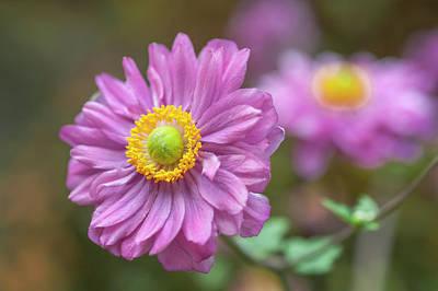 Photograph - Japanese Anemone Flower by Jenny Rainbow