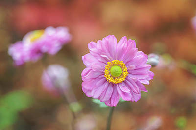 Photograph - Japanese Anemone by Jenny Rainbow
