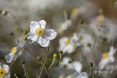 Photograph - Japanese Anemones by Eva Lechner
